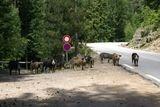 Cochons sauvages près de la cascade de Radule - © Kalysteo.com