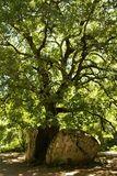 Chêne aux rochers - © Kalysteo.com