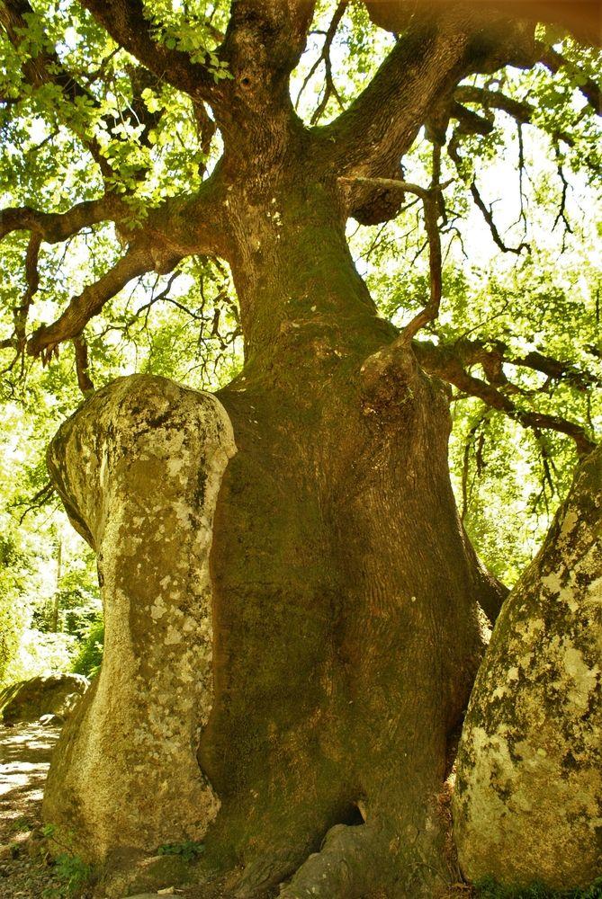 Chêne aux rochers