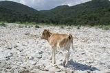 Un veau sur la plage du Lodu - © Kalysteo.com
