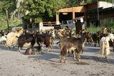 Quelques chèvres sur la route - © Kalysteo.com