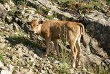 Un veau - © Kalysteo.com