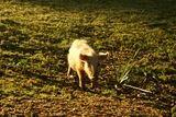 Cochon sauvage près de Vico - © Kalysteo.com