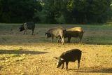Cochons sauvages près de Vico - © Kalysteo.com